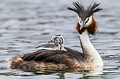 Australasian Crested Grebe Pictures - Photos