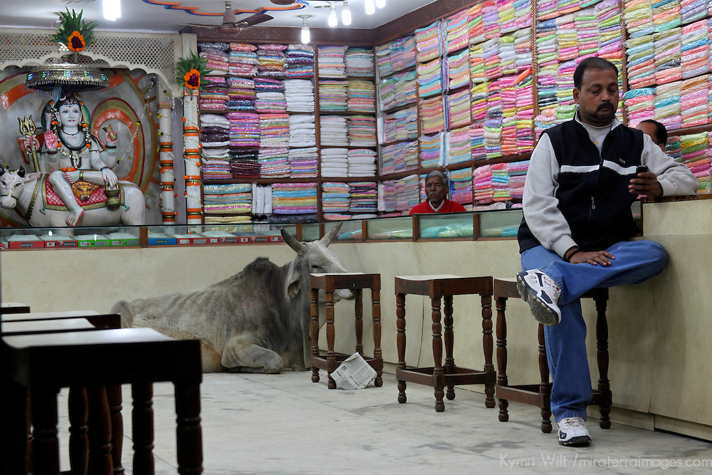 Asia, India, Varanasi. A holy Brahma Bull decides to rest in front of a shrine in a textile shop, as the owner texts on his cellphone.