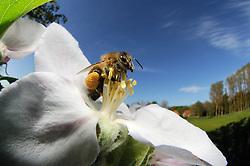 Honey bee (Apis mellifera) collecting pollen from the flower of an apple tree   Die Honigbiene (Apis mellifera) sammelt Pollen in einer Apfelbaumblüte. Ganz nebenbei bestäubt sie dabei die Blütenpflanzen und wird damit zum wichtigsten Bestäuber in Deutschland
