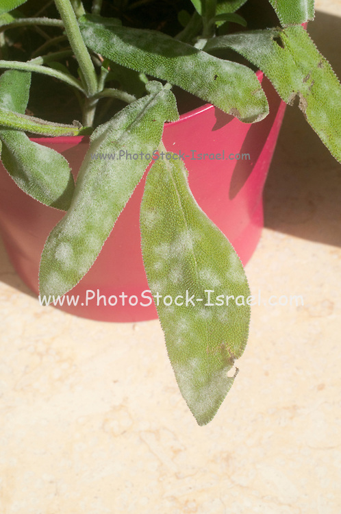 Powdery mildew on a leaf of  sage (Salvia) plant