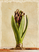 Fine art photograph of flower sprouting
