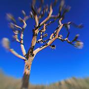 Burned Joshua Tree - Lensbaby