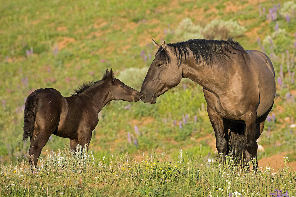 The month old filly, Petite Colour, tenderly greets her father, the handsome grullo stallion, Garay, atop Pryor Mountain.