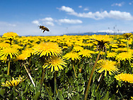 NEWS&GUIDE PHOTO / PRICE CHAMBERS.A honey bee buzzes from one dandylion to another on Monday near Teton Village. Bees help plants reproduce by moving pollen from one flower to another.