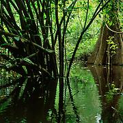 Swamp forest called Mata de Igapo in Mamiraua Sustainable Development Reserve, Amazonas, Brazil.