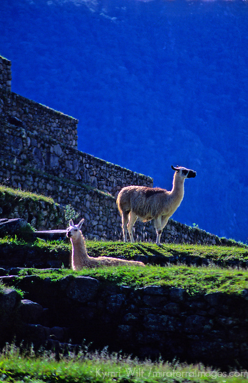 South America, Peru, Machu Picchu. Llama at Machu PIcchu