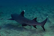 White-tip Reef Shark, Triaenodon obesus, (Rüppell, 1837), mano lalakea, Maui Hawaii