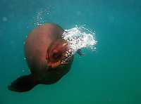 A sea lion checks out a curious snorkeler at Isla Lobos near San Cristobal island on Galapagos on 7/5/09. The sea lions at San Cristobal show little fear of humans and will frequently engage with them in the waters.