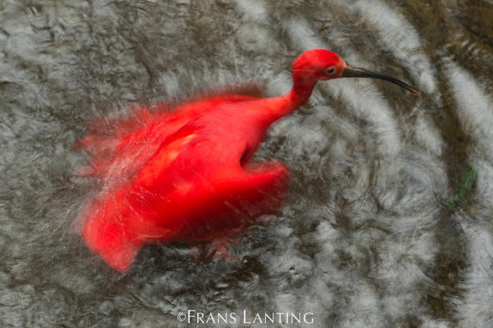 Scarlet ibis bathing, Eudocimus ruber, Parque das Aves, Foz do Iguacu, Brazil