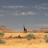 Desert Giraffe (Camelopardus), Purros, Kaokoland, Kunene Region, Namibia