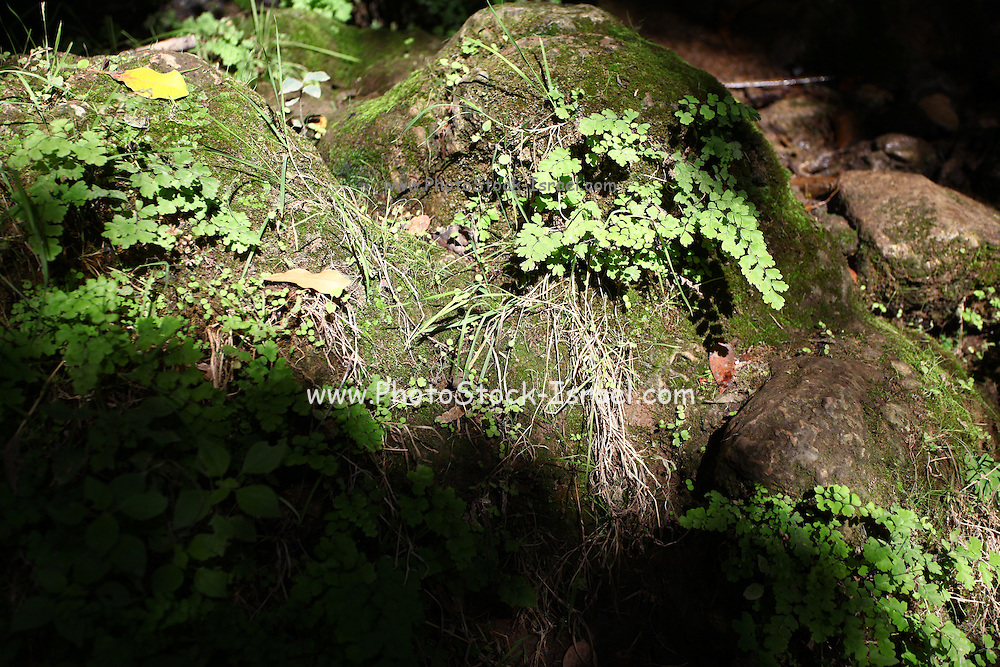 Southern Maidenhair Fern (adiantum capillus-veneris) and moss on a rock. Photographed in Amud Stream, Israel