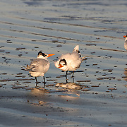 Tufted terns squabbling on Jekyll Island beach.