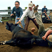 Cowboys Craig Kokubun, Don Yokoyama and Eric Watanabe work together to get control of an unhappy calf. Cattle were rounded up and calves branded at the Kuahiwi Ranch in the higher country above the town of Naalehu on the southern part of the Big Island, Hawaii.
