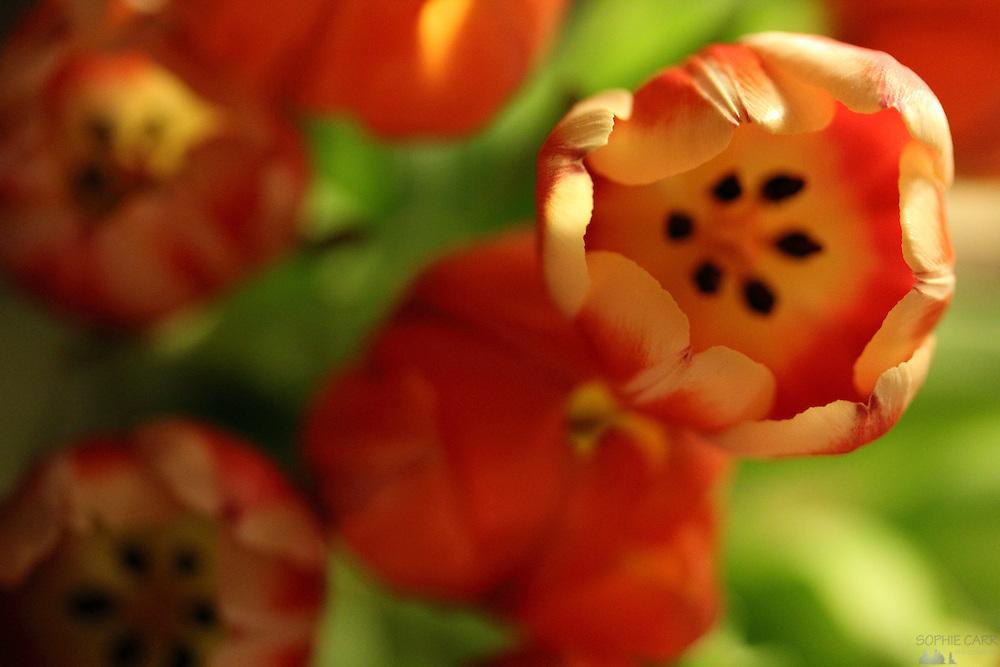 Tulip macro photography