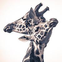 Two Rothschild's Giraffes necking in the early morning light outside Giraffe Manor in Nairobi, Kenya
