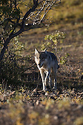 Wolf, Canis lupus, male member of Grant Creek pack, hunting on autumn tundra, Denali National Park, Alaska, vertical, wild