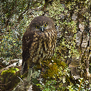 A small owl known locally as a morepork (Southern Boobook or Ninox novaeseelandiae), hides camouflaged in forest on the Tuatapere Hump Ridge Track, in Fiordland National Park, South Island, New Zealand. In 1990, UNESCO honored Te Wahipounamu - South West New Zealand as a World Heritage Area.