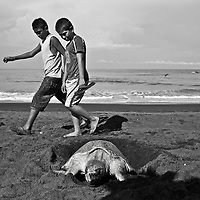 The Ostional National Wildlife Refuge is located in the counties of Santa Cruz and Nicoya in the province of Guanacaste. This is the only place in the world where it is legal to harvest turtle eggs. Local people are allow to collect and sell a percentage of the eggs from the first three days of each arribada. From my personal observations, I sincerely doubt that the initial rules, eggs numbers and percentages allowed are being followed. Pictured: Olive Ridley (Lora) marine turtle arribada.