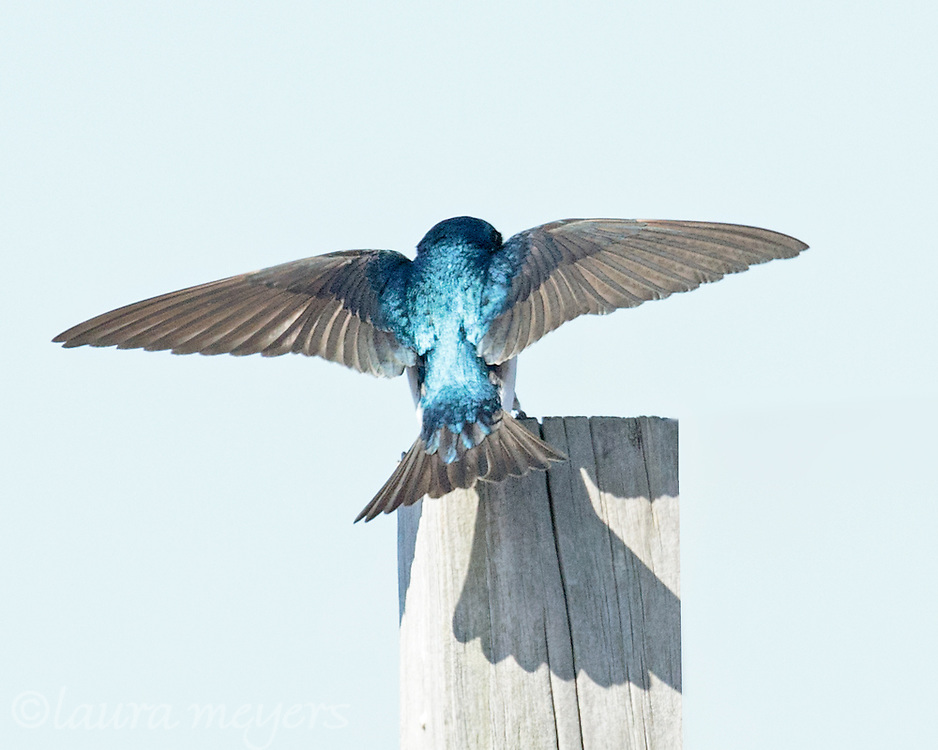 nesting behaviors and ectoparasite interactions of tree swallows Experimental evidence of negative interspecific interactions  functional and evolutionary ecology  functional and evolutionary ecology of fleas.