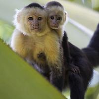 Portrait of adult and juvenile Brown Capuchin Monkey (Cebus paella), Osa Peninsula, Costa Rica