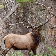 Bull elk during the autumn rut in Wyoming