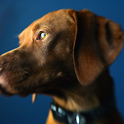 """""""Tanner"""" a male Vizsla. The Vizsla, as described in the American Kennel Club (AKC) standard, is a medium-sized short-coated hunting dog of distinguished appearance and bearing. Robust but rather lightly built; the coat is a golden-rust color. The coat could also be described as a copper/brown color. They are lean dogs, and have defined muscles, and are similar to a Weimaraner. Vizslas are lively, gentle-mannered, loyal, caring and highly affectionate. They quickly form close bonds with their owners, including children. Often they are referred to as """"velcro"""" dogs because of their loyalty and affection. They are quiet dogs, only barking if necessary or provoked. They are natural hunters with an excellent ability to take training (American Breed Standard, AKC). Not only are they great pointers, but they are excellent retrievers as well..(Photo by MARC PISCOTTY / © 2006)"""