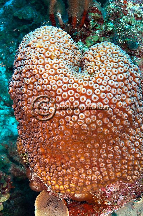 Great Star Coral, Montastraea cavernosa, Grand Cayman