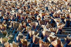Many cod drying on outdoor racks in Lofoten Islands in Norway
