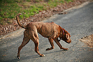 A hound stalks a scent in the Congressional Cemetery.