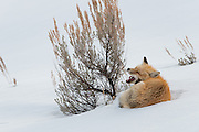 A red fox (Vulpes vulpes) yawns after a nap in the winter landscape of Yellowstone National Park, Wyoming