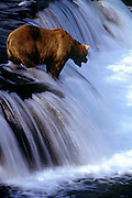 Image of a grizzly bear at Brooks Falls, Katmai National Park, Alaska, Pacific Northwest