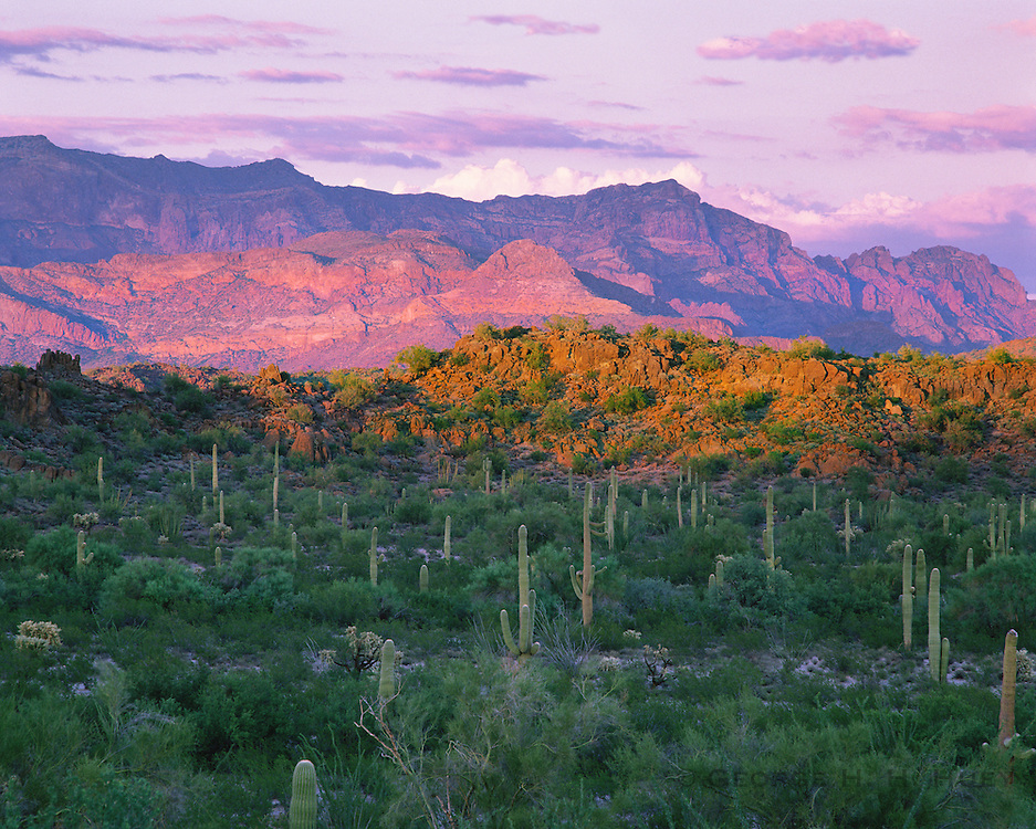 0112-1018LVT~ Copyright: George H. H. Huey ~ Saguaro cactus [Carnegiea gigantea] with Ajo Mountains at sunset. Organ Pipe Cactus National monument, Arizona.