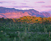 0112-1018LVT~ Copyright: George H. H. Huey ~ Saguaro cactus [Carnegiea gigantea] with Ajo Mountains at sunset. Organ Pipe Cactus National monument, Arizona.