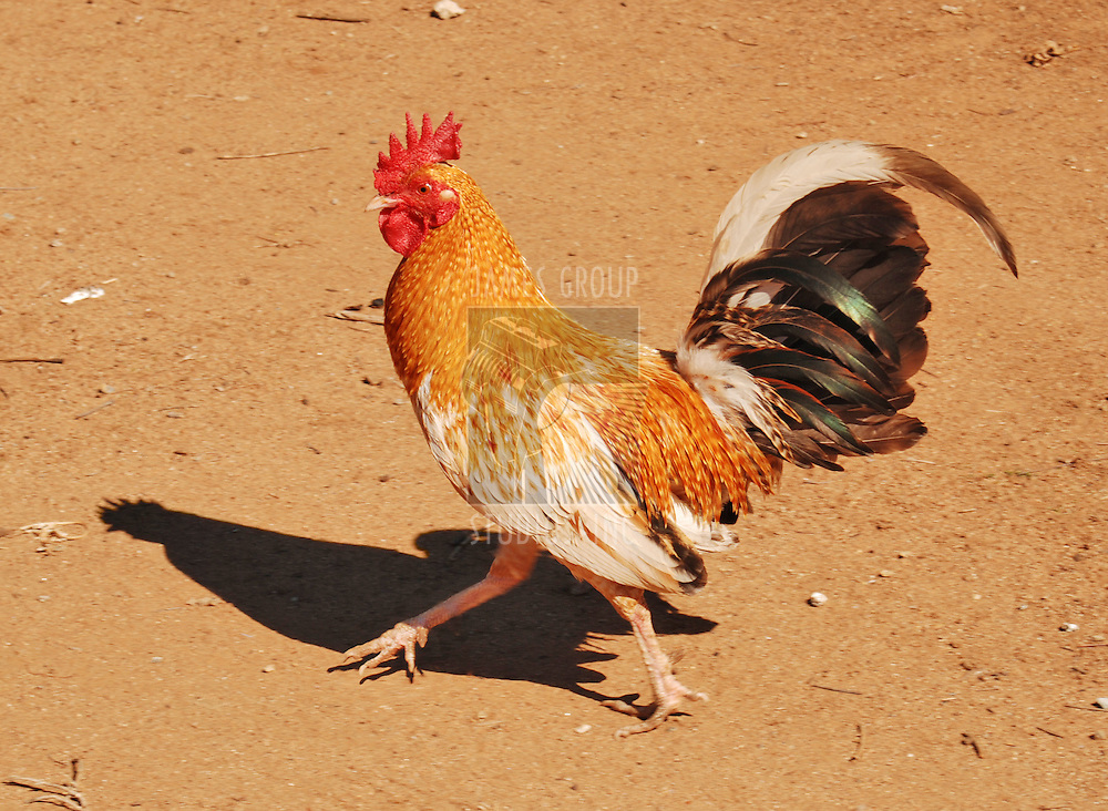 Side view of a healty proud looking rooster.