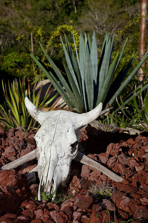 """Te-Kill-Ya""- This skull and agave plant, the plant used to make tequila, were photographed near Puerto Vallarta, Mexico."