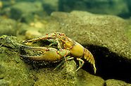 Longpincered Crayfish, Underwater
