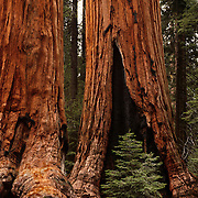 Huge giant Sequoia trees, some of the largest and oldest living things on Earth, abound in Sequoia National Park, CA.