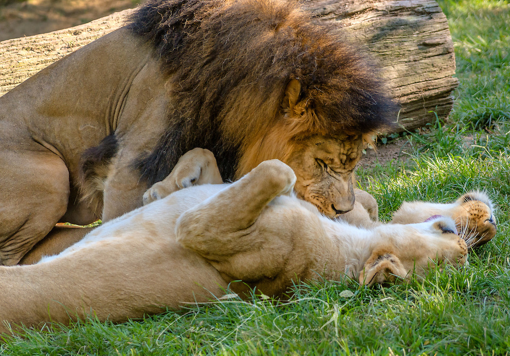 Thabo, an African lion (Panthera Leo), gets affectionate with his mates, lioness sisters Jamela and Akeelah, at the Memphis Zoo, September 8, 2015, in Memphis, Tennessee. The zoo features more than 3,500 animals representing more than 500 species; it is one of only four zoos in the nation to feature a panda exhibit. (Photo by Carmen K. Sisson/Cloudybright)