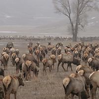 National Elk Refuge<br /> Jackson, Wyoming