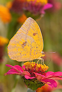 Large Orange Sulphur (Phoebis agarithe) - female<br /> TEXAS: Victoria Co.<br /> Victoria<br /> 15.Nov.2009<br /> J.C. Abbott
