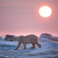 Canada, Nunavut Territory, Repulse Bay, Midnight sun sets behind Polar Bear (Ursus maritimus) walking across sea ice in Hudson Bay