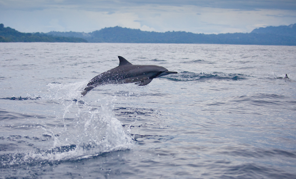 A spinner dolphin jumps in the Solomon Islands in the Solomon Islands