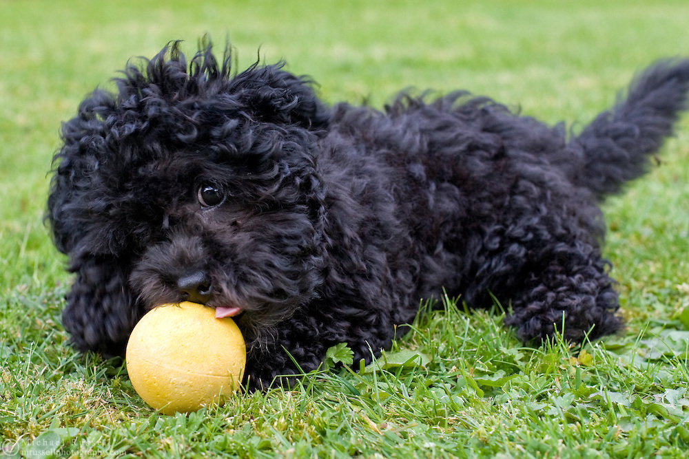 Malti-poo (Maltese and Poodle cross) plays with a ball on the lawn.