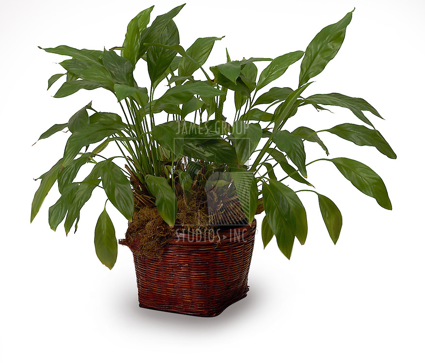 a house plant isolated on white
