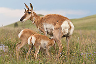 Pronghorn, Antilocapra americana, female with twin calves/fawns, Custer State Park, South Dakota, USA