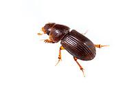 Aphodiine Dung Beetle (Platytomus longulus)<br /> United States: Alabama: Tuscaloosa Co.<br /> Tulip Tree Springs off Echola Rd.; Elrod<br /> 20-Sep-2016<br /> J.C. Abbott #2870