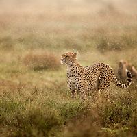 Tanzania, Ngorongoro Conservation Area, Ndutu Plains, Adult Female Cheetah (Acinonyx jubatas) walks through morning rain shower while hunting on open savanna