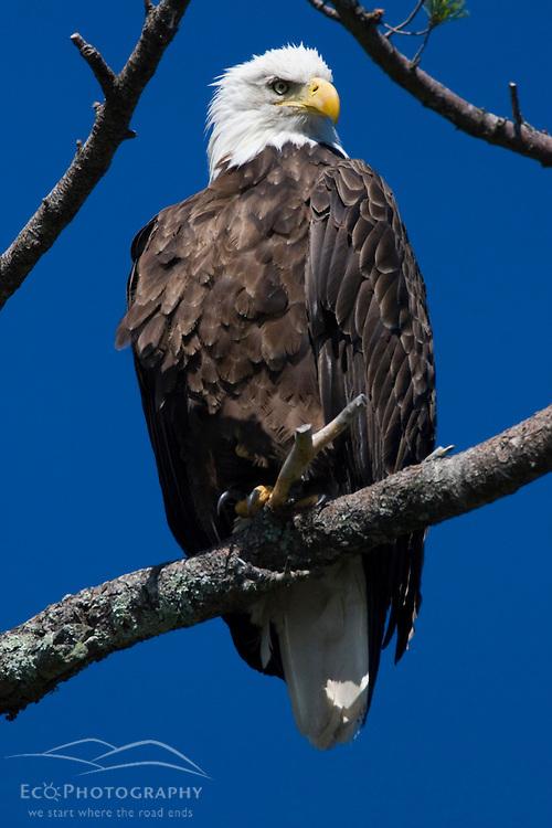 An adult Bald Eagle, Haliaeetus leucocephalus, perched in a white pine above Katahdin Lake near Maine's Baxter State Park.
