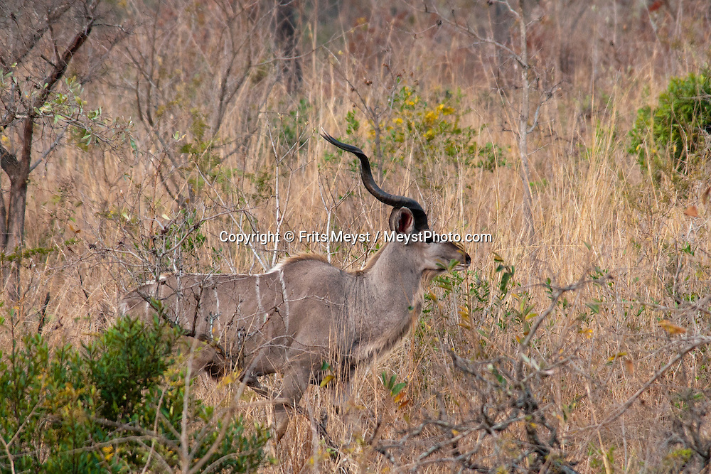 Kruger National Park, Mpumalanga, South Africa, september 2011. A large male kudu in the bush. Bordered by Mozambique and Zimbabwe, Krugerpark is about 65km wide and 350km long. It is south Africa's largest National Park and one of the world's best known nature conservation areas. From your own vehicle, on tarmac and dirt roads, you can get up close and personal experiences with the enormous wildlife diversity. Photo By Frits Meyst/Adventure4ever.com.
