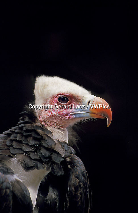 White Headed Vulture, trigonoceps occipitalis, Portrait of Adult, Kenya